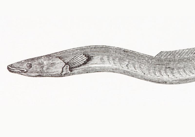 European Eels Strew Their Eggs Across 2,000 Km of Ocean