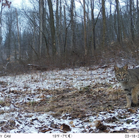 Image of the Day: Bobcat Sighting