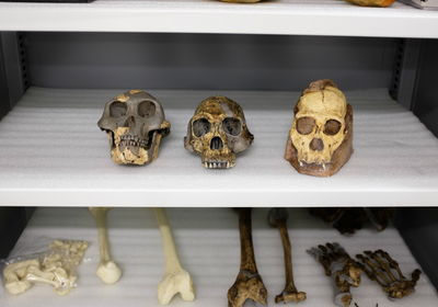 <em>Australopithecus sediba</em> Not Likely Humans&rsquo; Ancestor: Study