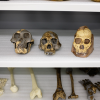 <em>Australopithecus sediba</em> Not Likely Humans' Ancestor: Study