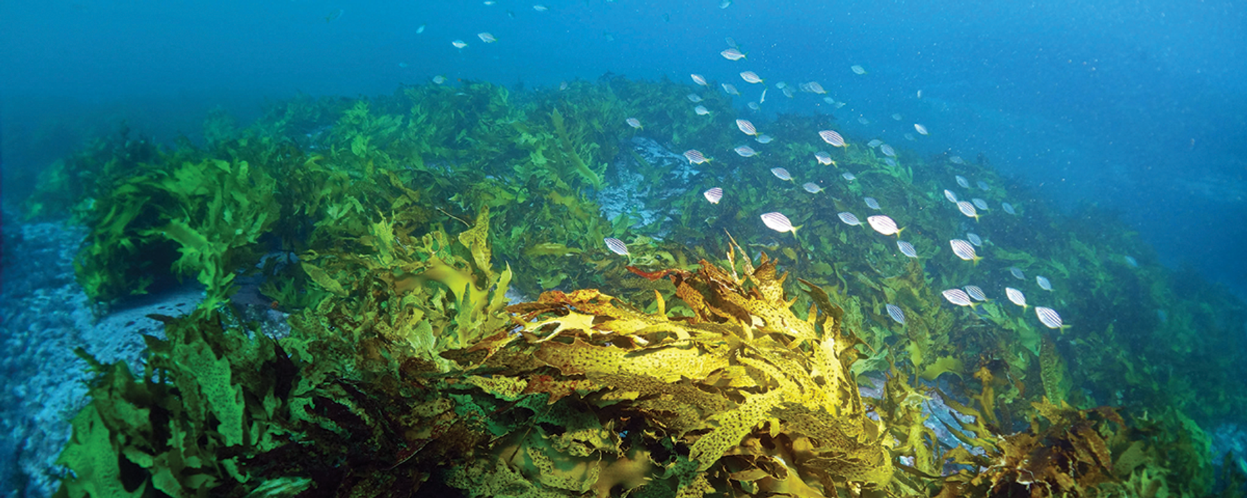 In a Warming Climate, Seaweed's Microbiome May Mediate Disease