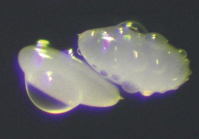 Fruit Flies Hide Their Eggs in Plain View