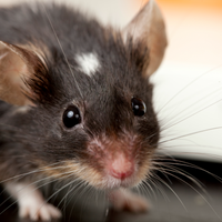 Stem Cells Delivered to the Nose Restore Mice's Ability to Smell