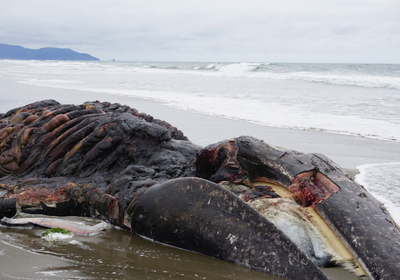 Government Scientists Launch Investigation into Whale Deaths