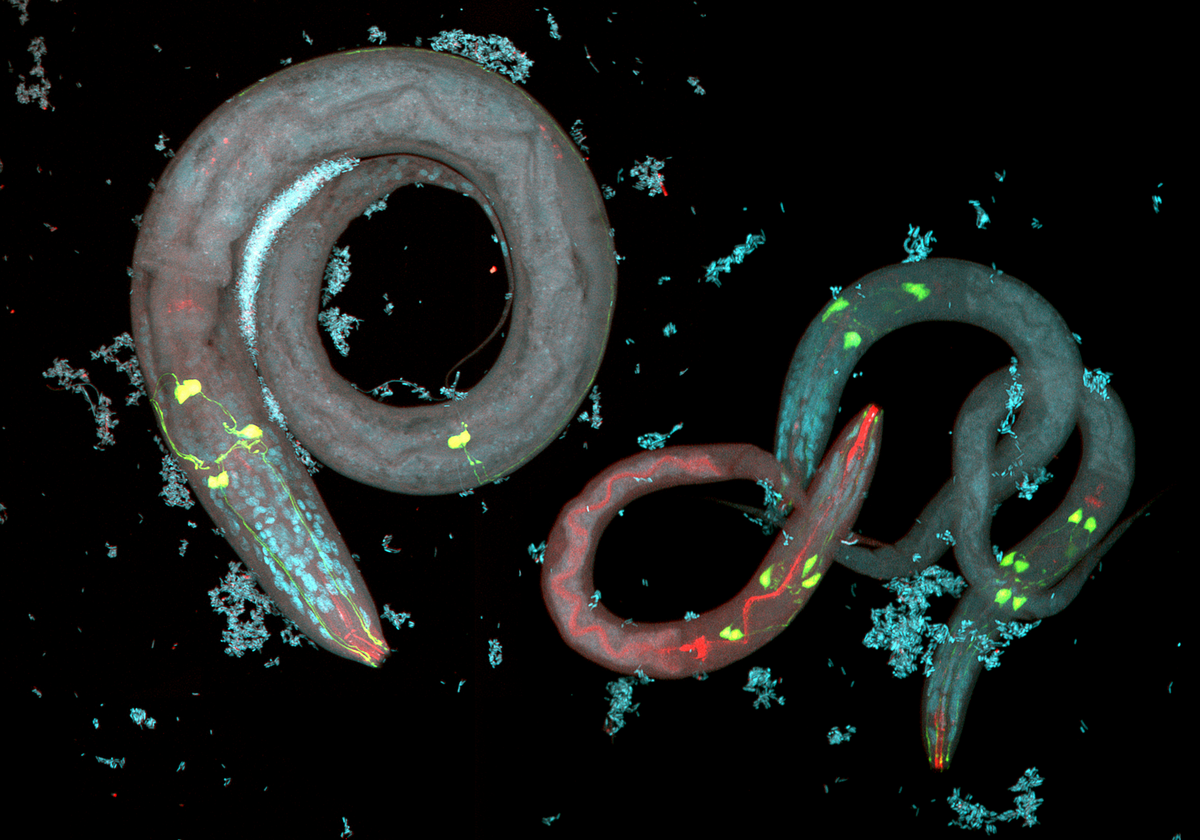 nematode avoidance behavior