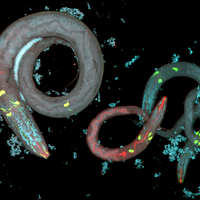 Worm Parents Pass on Behaviors Epigenetically to Offspring