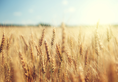 Genetically Modified Wheat Found in a Field in Washington State