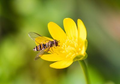 Amidst UK Pollinator Declines, Migrant Hoverflies Are Doing