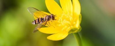 Amidst UK Pollinator Declines, Migrant Hoverflies Are Doing Well