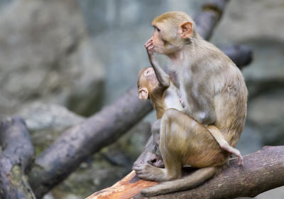 Infant Monkeys Died in Accidental Poisoning at UC Davis Lab
