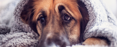 Domestication Might Have Sculpted Eyebrow Expressions in Dogs