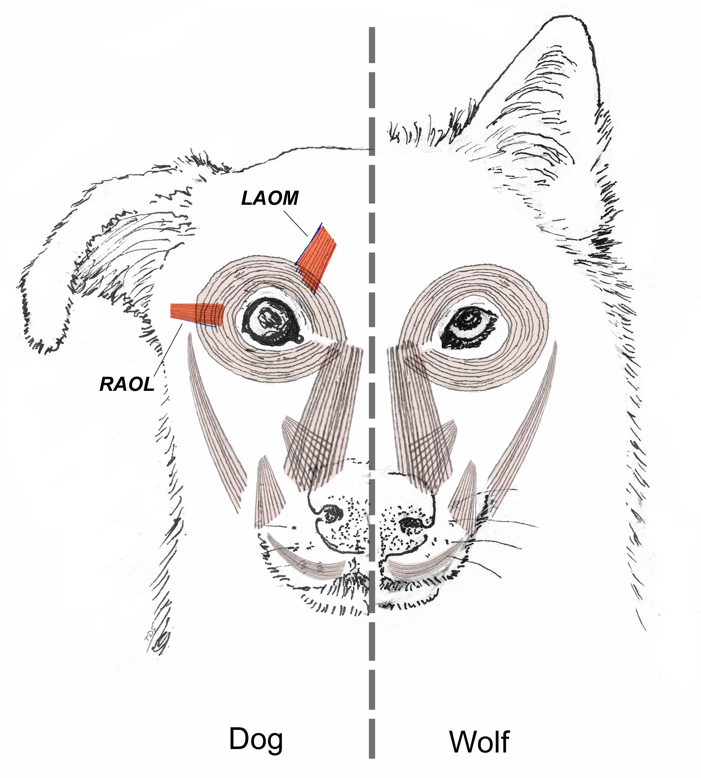 Domestication Might Have Sculpted Eyebrow Expressions in Dogs | The  Scientist Magazine®