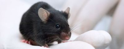 Prominent Mouse Genetics Center Could be Shuttered