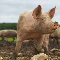 Scientists Race to Build Vaccine for African Swine Fever
