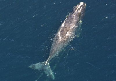 Six North Atlantic Right Whales Have Died So Far This Year