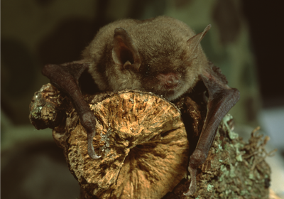Fungus Behind Deadly Bat Disease Found in Northern California