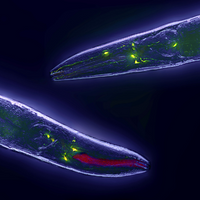 <em>C. elegans&nbsp;</em>Healthier Without Longevity Gene