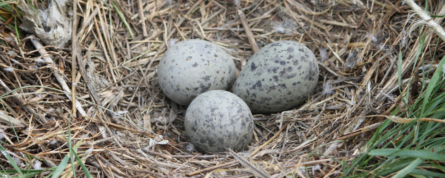 Unhatched Gulls Shake Their Shells to Warn Siblings of Danger