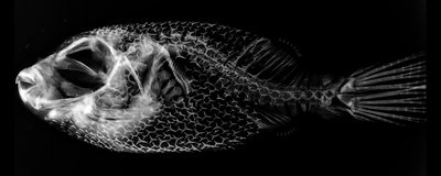 Pufferfish Spines Shaped by Same Genes as Feathers and Fish Scales