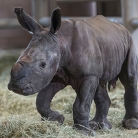 Southern White Rhino Born After Artificial Insemination