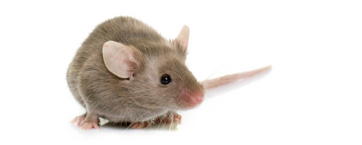 Mouse Genetics Shape the Gut Microbiome More than Their Environment