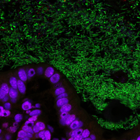 Image of the Day: Tamed Gut Bacteria