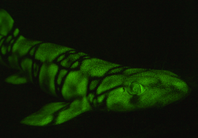 Image of the Day: Fluorescent Sharks