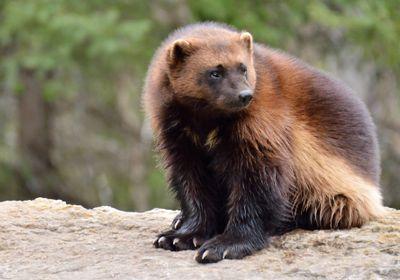 Trump Administration Weakens Endangered Species Protections