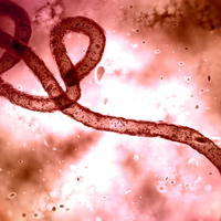 Two Experimental Drugs Effective at Treating Ebola
