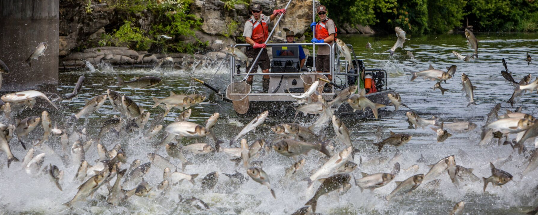 Invasive Carp Could Spread Across Lake Michigan on Detritus Diet