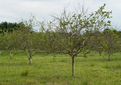 Antibiotic Ineffective Against Citrus Greening: Study