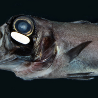 Image of the Day: Flashlight Fish