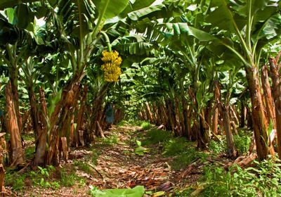 Dreaded Banana-Infecting Fungus Spreads to Latin America