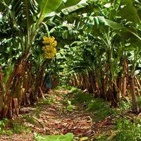 Dreaded Banana-Infecting Fungus Spreads to Latin America