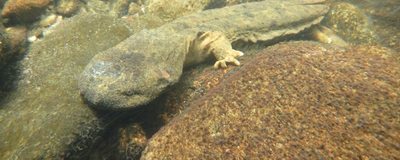Saving the Hellbender, a Giant Salamander Under Threat