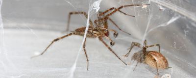 Image of the Day: Spider Sex