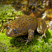 Image of the Day: Last Loa Water Frogs
