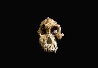 <em>A. anamensis</em> Hominin Skull Could Recast Our Human Family Tree