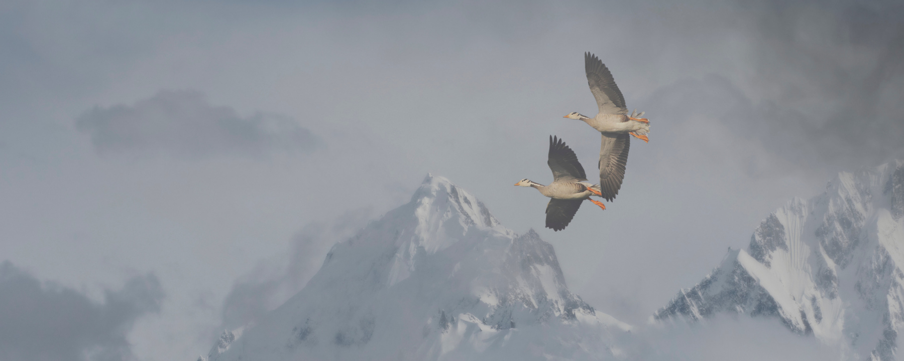 Bar-Headed Geese Slow Their Metabolism to Soar over Everest