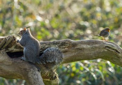 Squirrels Listen to Birdsong for Safety Cues