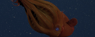 Image of the Day: Vampire Squid