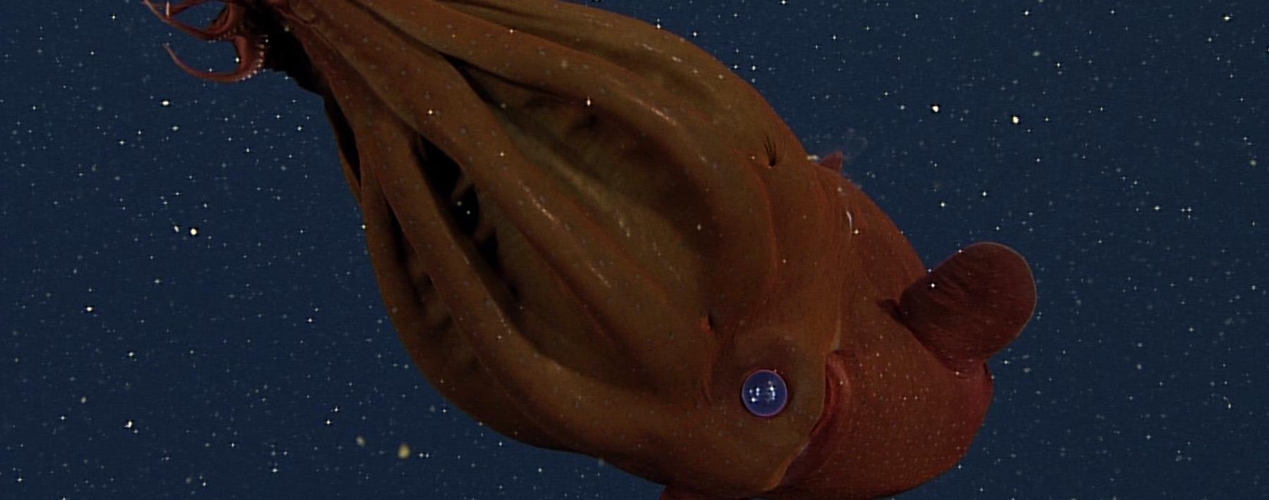 Image of the Day: Vampire Squid