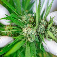 State Marijuana Legalization Aids Research Very Little
