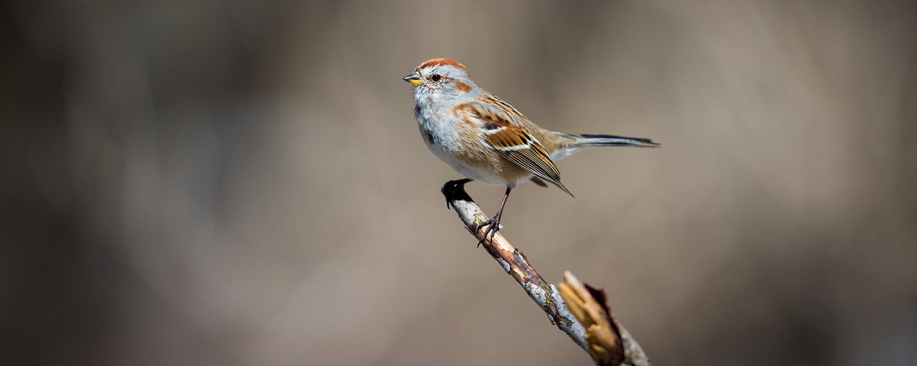 North America Has 3 Billion Fewer Birds Than it Did in 1970