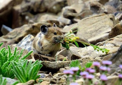 Image of the Day: Pika Populations