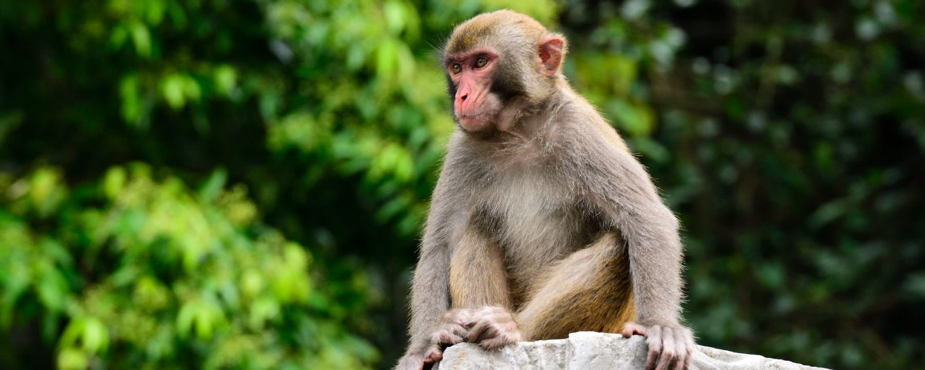 When Humans Hear Music, Monkeys May Hear Noise