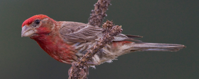 Image of the Day: Red-Feathered Finches