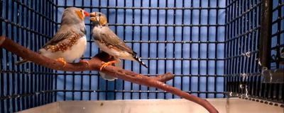 Researchers Implant Memories in Zebra Finch Brains
