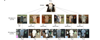 Genome-Edited Hornless Cows' Offspring Are Healthy: Study