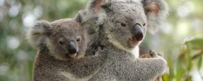 Koala Immune Response to Genome-Inserting Retroviruses Identified